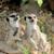 meerkat stock photo © byrdyak