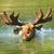 préri · jávorszarvas · mező · Saskatchewan · Kanada · fű - stock fotó © byrdyak