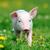 小さな · 豚 · ファーム · プロファイル · 表示 · 色 - ストックフォト © byrdyak