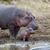 nijlpaard · familie · nijlpaard · buiten · water · afrika - stockfoto © byrdyak