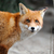 wild red fox portrait stock photo © byrdyak