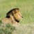 lion in the grass of masai mara kenya stock photo © byrdyak