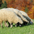 flock sheep on a autumn field stock photo © byrdyak