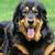 retrato · terranova · perro · marrón · jardín · triste · animales - foto stock © byrdyak