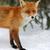 rouge · Fox · famille · illustration · couple · animaux - photo stock © byrdyak