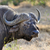 wild african buffalo bull stock photo © byrdyak