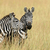 зебры · Африка · парка · Кения · трава · лошади - Сток-фото © byrdyak