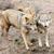 timber wolf canis lupus stock photo © byrdyak