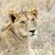 тесные · лев · парка · Кения · Африка · кошки - Сток-фото © byrdyak