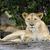 fehér · férfi · oroszlán · portré · afrikai · fej - stock fotó © byrdyak