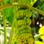 büyüyen · sarı · palmiye · meyve - stok fotoğraf © byrdyak