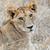 лев · тесные · парка · Кения · Африка · кошки - Сток-фото © byrdyak