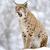 lynx in winter stock photo © byrdyak
