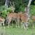 wild spotted deer stock photo © byrdyak