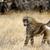 pávián · Kenya · park · szabad · föld · tájkép - stock fotó © byrdyak