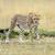 cheetah · wild · afrikaanse · mooie · zoogdier · dier - stockfoto © byrdyak