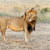 close lion in national park of kenya stock photo © byrdyak