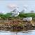 grey headed gulls larus cirrocephalus stock photo © byrdyak