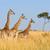 楽しい · キリン · 自然 · ドリンク · 動物 · カクテル - ストックフォト © byrdyak