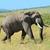 группа · слон · ходьбе · Серенгети · тело · зеленый - Сток-фото © byrdyak