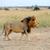 лев · ходьбе · саванна · ЮАР · голову - Сток-фото © byrdyak