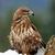hawk on a branch stock photo © byrdyak
