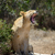 лев · ЮАР · природы · животного - Сток-фото © byrdyak