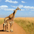 retrato · girafa · isolado · branco · textura · fundo - foto stock © byrdyak