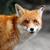 kırmızı · tilki · portre · hayvan - stok fotoğraf © byrdyak