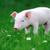 jovem · porco · fazenda · perfil · ver · cor - foto stock © byrdyak