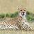 wild · afrikaanse · cheetah · afrika · Kenia · familie - stockfoto © byrdyak