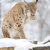 рысь · зима · красивой · дерево · глазах - Сток-фото © byrdyak