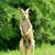 bebek · kanguru · çim · saç · arka · plan - stok fotoğraf © byrdyak