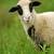jovem · branco · ovelha · foto · verde · parque - foto stock © byrdyak