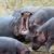 hippo family hippopotamus amphibius stock photo © byrdyak