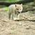 Арктика · волка · зима · лес · природы · цифровой - Сток-фото © byrdyak