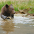brown bear cub in a water stock photo © byrdyak