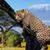 leopárd · feketefehér · kép · vad · fa · arc - stock fotó © byrdyak