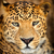 leopard portrait stock photo © byrdyak
