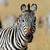 zebra · portre · Afrika · savan · safari · serengeti - stok fotoğraf © byrdyak