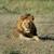 агрессивный · зубов · пустыне · ЮАР · лев - Сток-фото © byrdyak