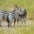 zebra · zebrák · Afrika · Kenya · ló · fut - stock fotó © byrdyak