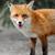 kırmızı · tilki · portre · doğa · bahar - stok fotoğraf © byrdyak