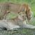 美しい · 従事 · 野生動物 · 男性 · バック · 枝角 - ストックフォト © byrdyak