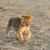 лев · парка · Кения · Африка · африканских - Сток-фото © byrdyak