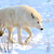 волка · красивой · белый · зима · лице - Сток-фото © byrdyak