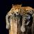 Leopard · reso · illustrazione · pelle - foto d'archivio © byrdyak