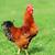 gyönyörű · kakas · fű · szépség · madár · zöld - stock fotó © byrdyak