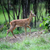 美しい · 赤 · 鹿 · 自然 · 生息地 - ストックフォト © byrdyak