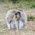 vervet monkey eat apple stock photo © byrdyak